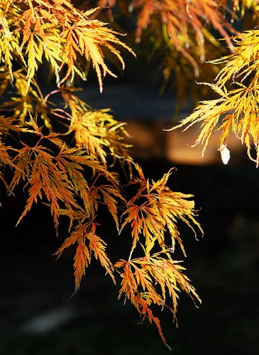 oosterse-tuin-acer-autum2