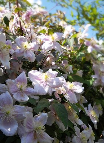 oosterse-tuin-detail-klimplant